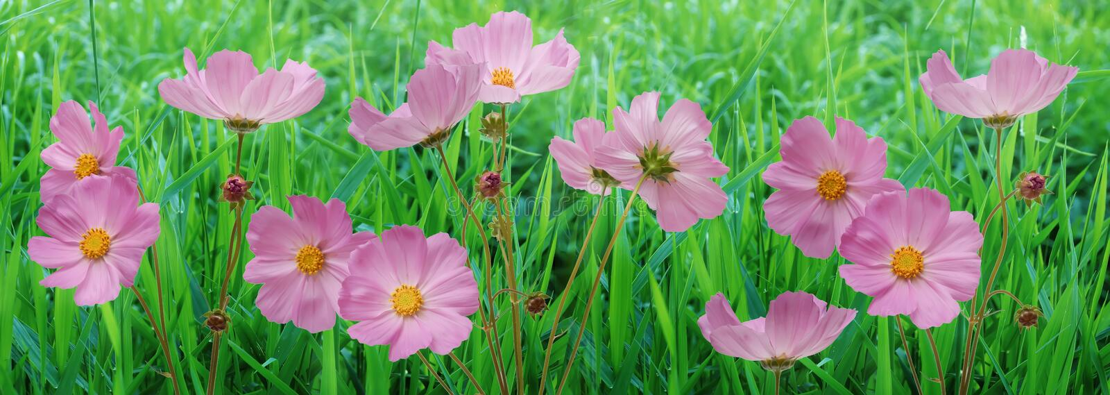Border pink flowers cosmos flowers in the garden. beautiful floral background. Closeup royalty free stock photography
