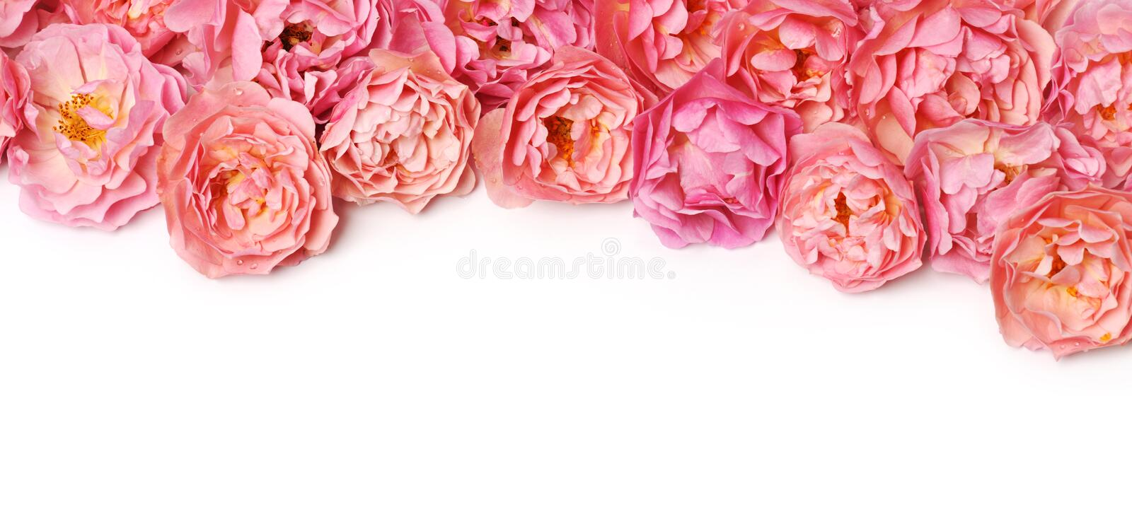 Border of pink roses. On white background royalty free stock photography