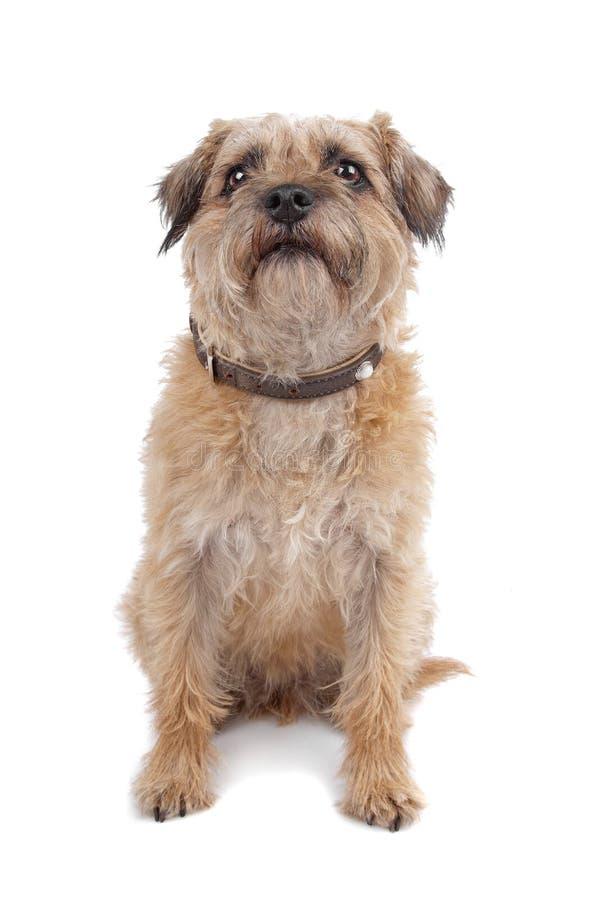 Border Terrier royalty free stock photo