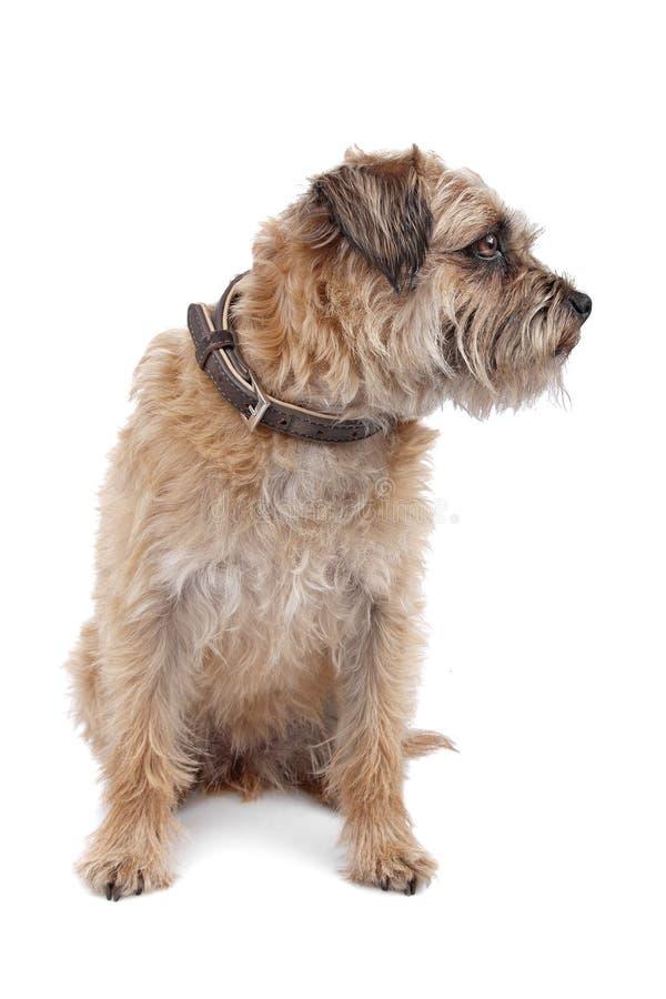 Border Terrier stock photos