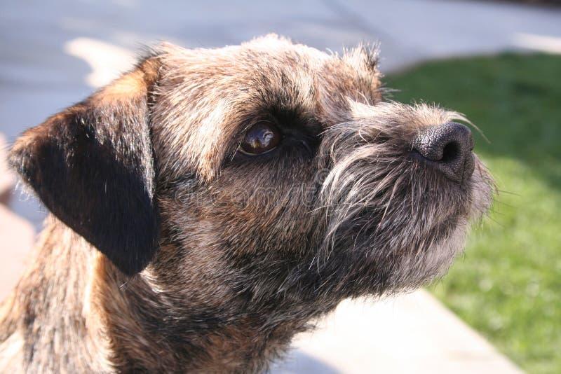Border Terrier stock images