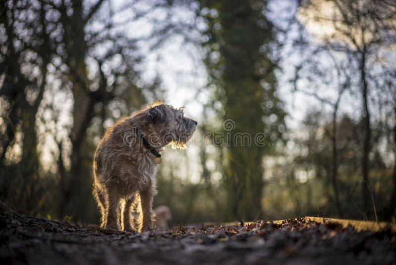 Border Terrier lizenzfreies stockbild