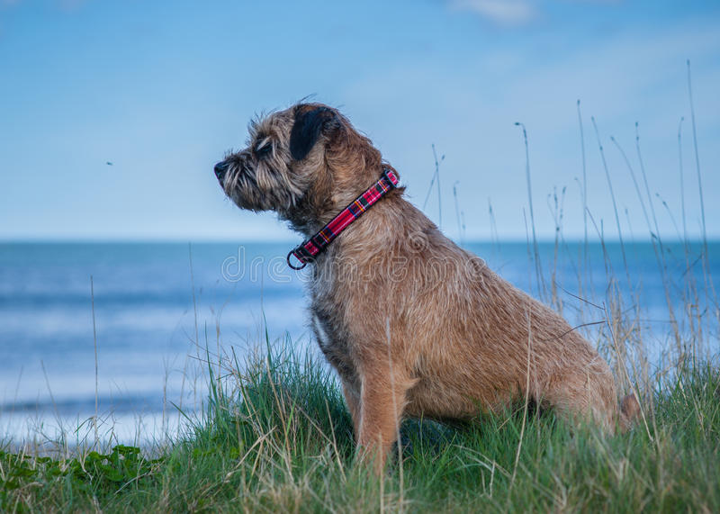 Border Terrier Dog. An Adult Border Terrier Dog royalty free stock images