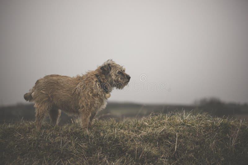 Border Terrier royalty free stock photos