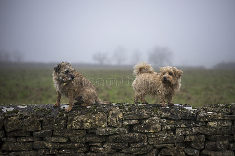 Border Terrier. Border and Norfolk Terrier on wall. Misty background. UK stock photo