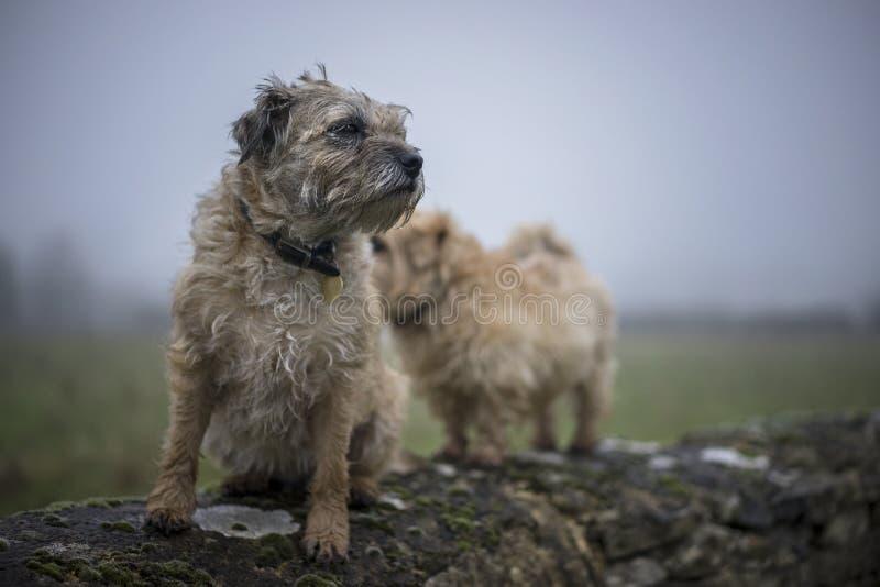 Border Terrier royalty free stock image
