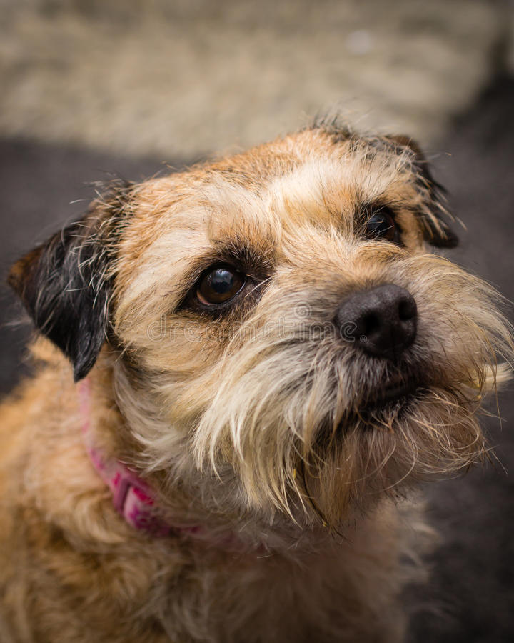 Border Terrier. A photograph of a Border Terrier dog royalty free stock photography