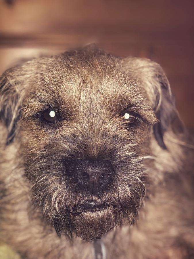 border terrier portrait stock images