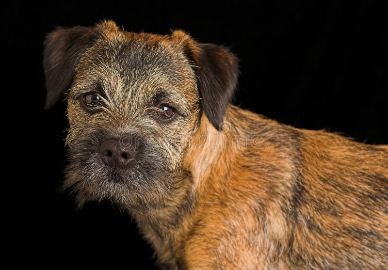 Border terrier puppy royalty free stock photo