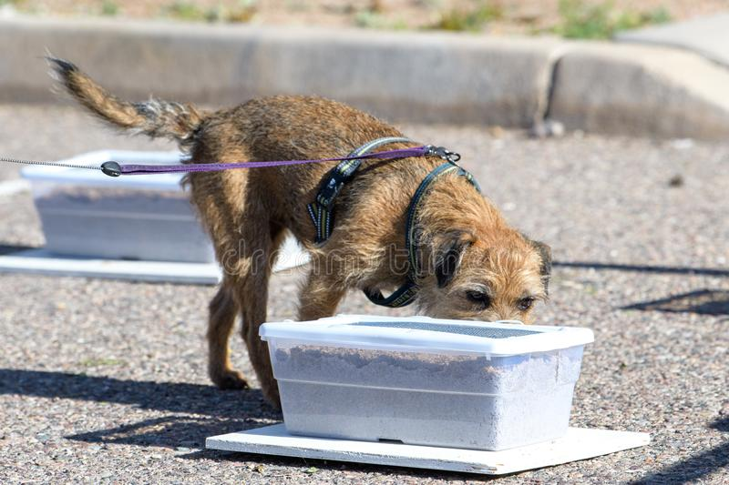 Border terrier during a scent work game finding odor stock photography