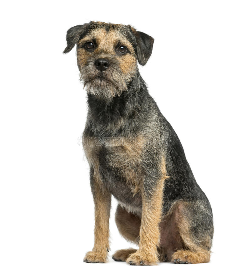 Border terrier sitting royalty free stock photography