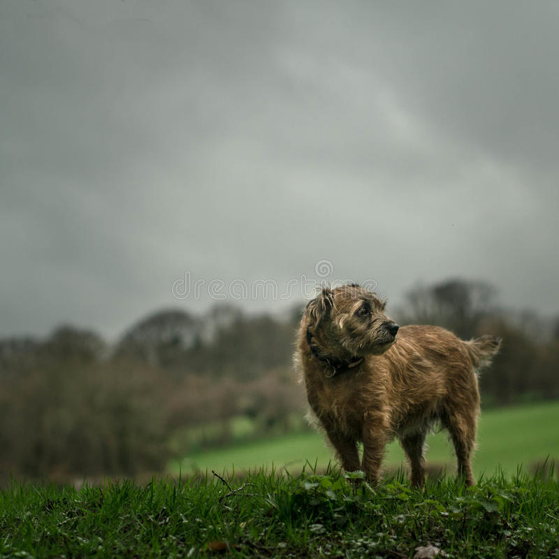 Border Terrier before the Storm. A Border Terrier amid the drama of a gathering storm. Landscape and animal still life set in rural Herefordshire stock photo