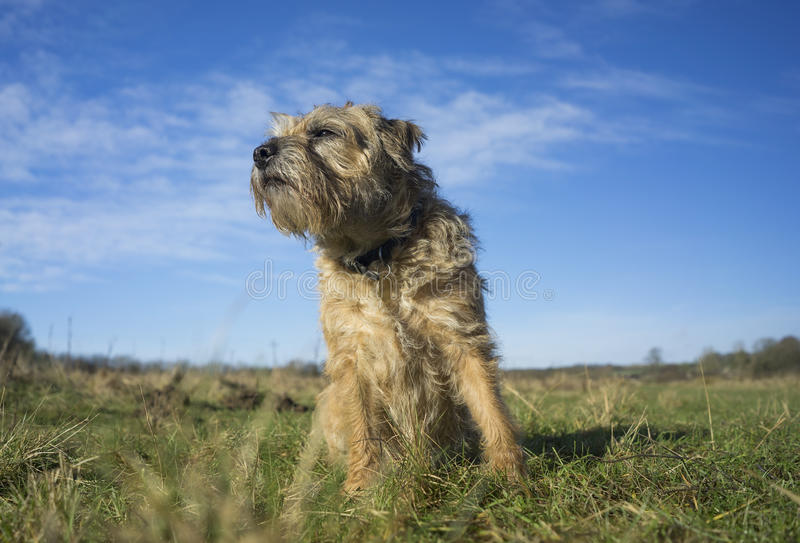 Border Terrier stock photography