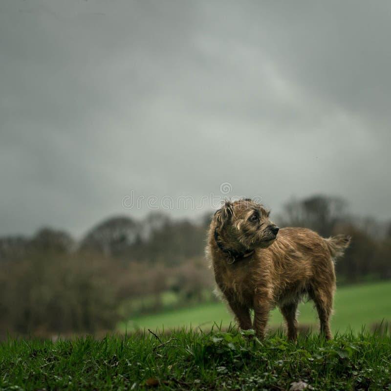 Border Terrier vor dem Sturm stockfoto