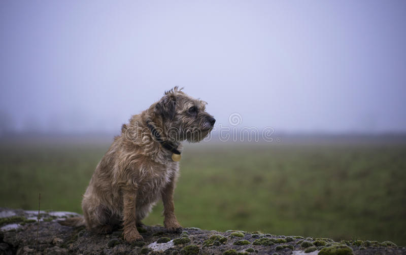 Border Terrier royalty free stock image