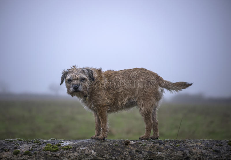 Border Terrier. On wall. Misty background. UK stock photos