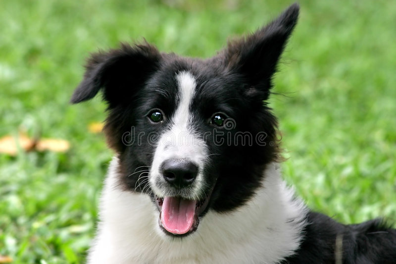 Download Bordercollie stock image. Image of puzzled, panting, portrait - 190467
