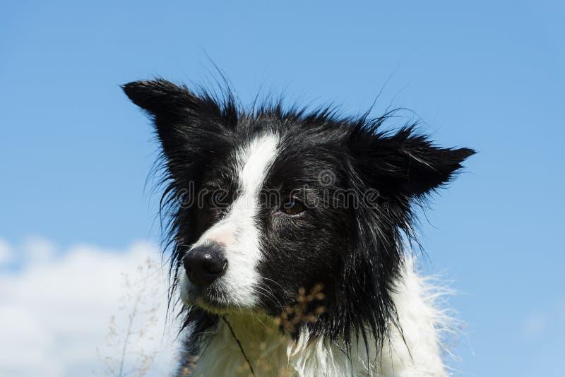 Download Bordercollie stock photo. Image of pedigree, agility - 32841794