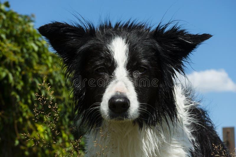 Download Bordercollie stock photo. Image of animal, paws, agility - 32841808