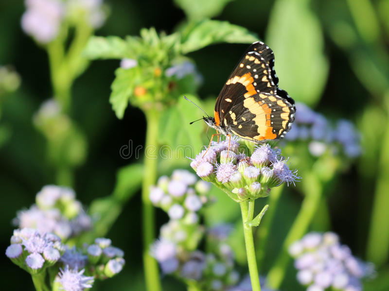 Bordered Patch Butterfly on Blue Mistflowers stock image