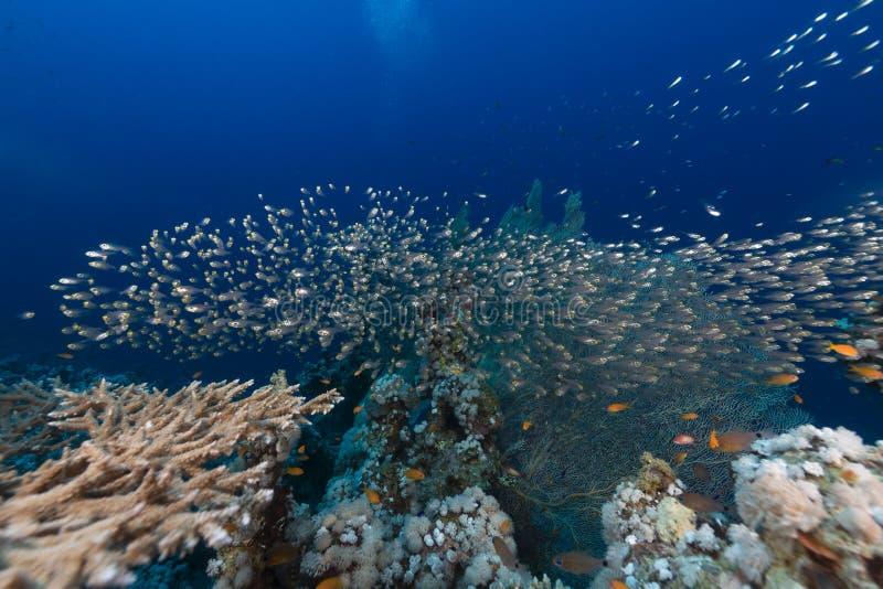 Bordlägga korall och det vatten- livet i Röda havet royaltyfri foto