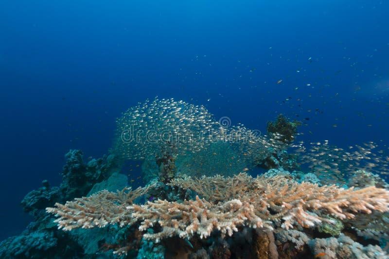 Bordlägga korall och det vatten- livet i Röda havet arkivfoton