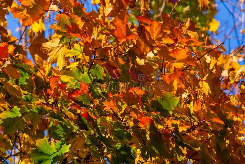 """Bordo bonito do outono com †vermelho, alaranjado, amarelo e verde das folhas """"um fragmento de uma árvore no fundo de um céu azu imagem de stock royalty free"""