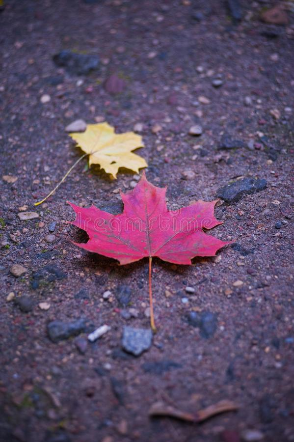 Bordo colorido brilhante de muitas folhas que encontra-se na terra Close-up das folhas de bordo amarelas, vermelhas, verdes e ala imagem de stock