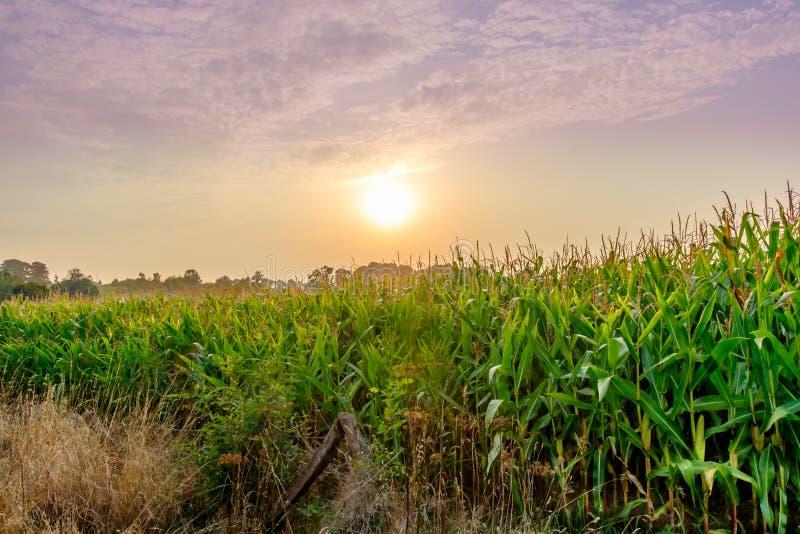 Bordo del campo di grano di Mayenne immagini stock