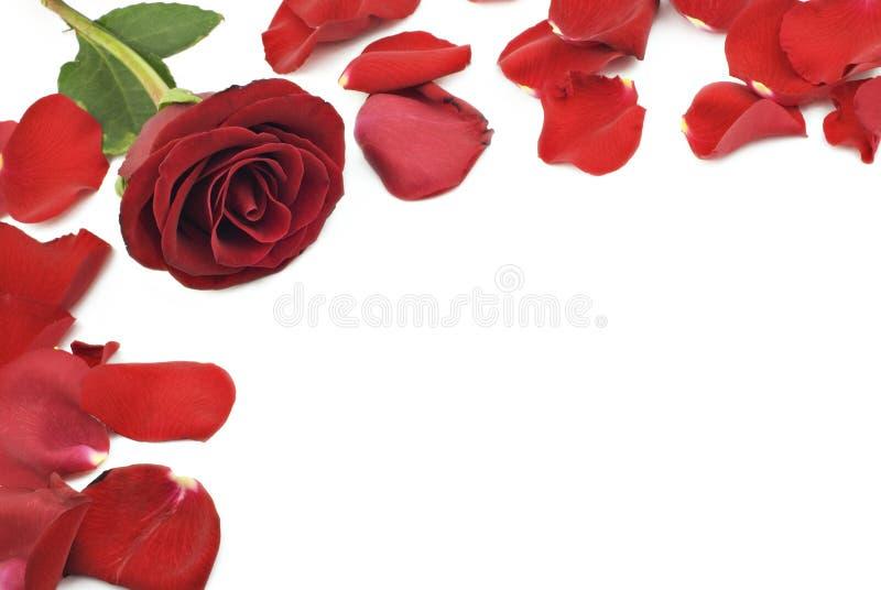 Bordo della Rosa fotografie stock libere da diritti
