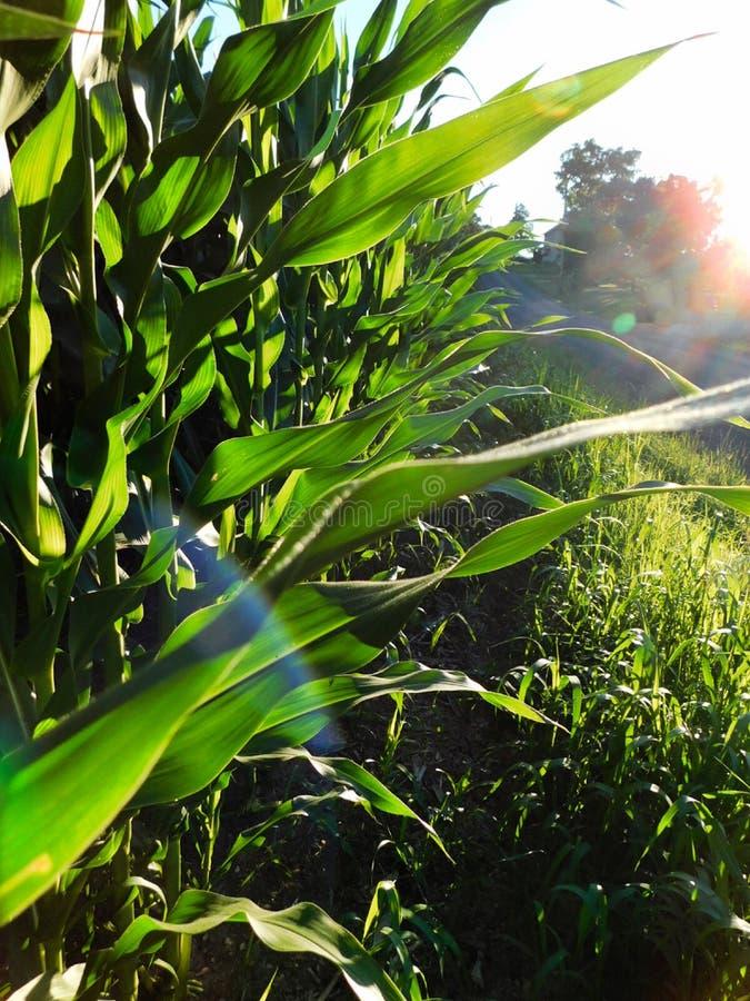 Bordo di un campo di grano al tramonto, vicino a Liverpool, la Pensilvania fotografia stock
