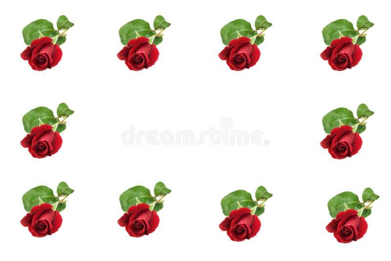 Bordo rosso della Rosa fotografie stock libere da diritti