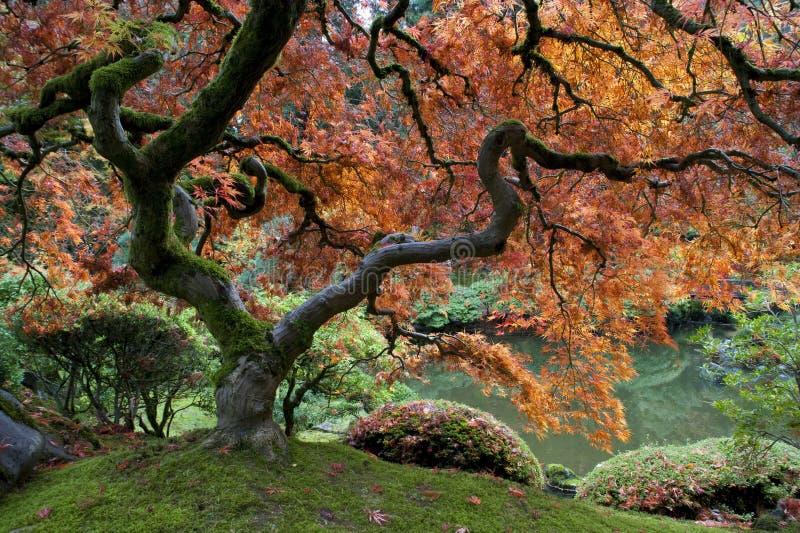 Bordo vermelho, jardim japonês fotografia de stock