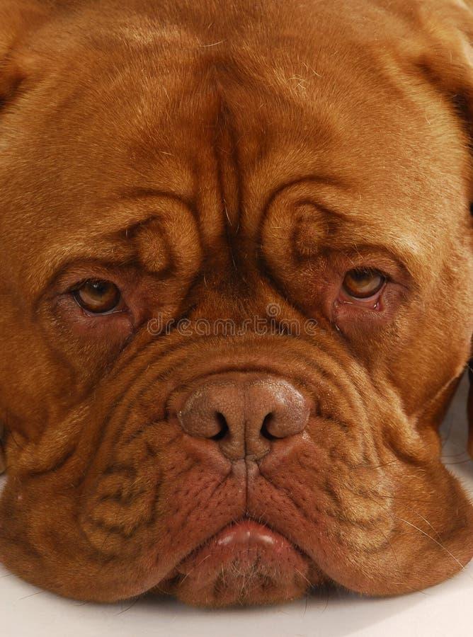 bordowie De Dogue zdjęcia stock