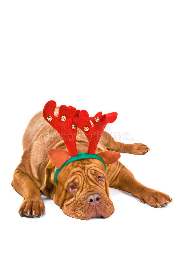bordowie De Dogue Rudolph fotografia royalty free