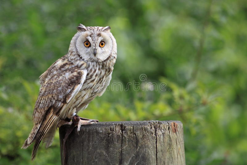 Boreal owl. The boreal owl sitting on the wood trunk stub
