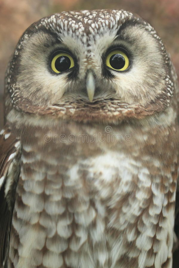 Boreal owl stock images