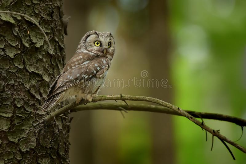 Boreal Owl - Aegolius funereus sitting on the branch in the forest in Czech Republic. stock photos