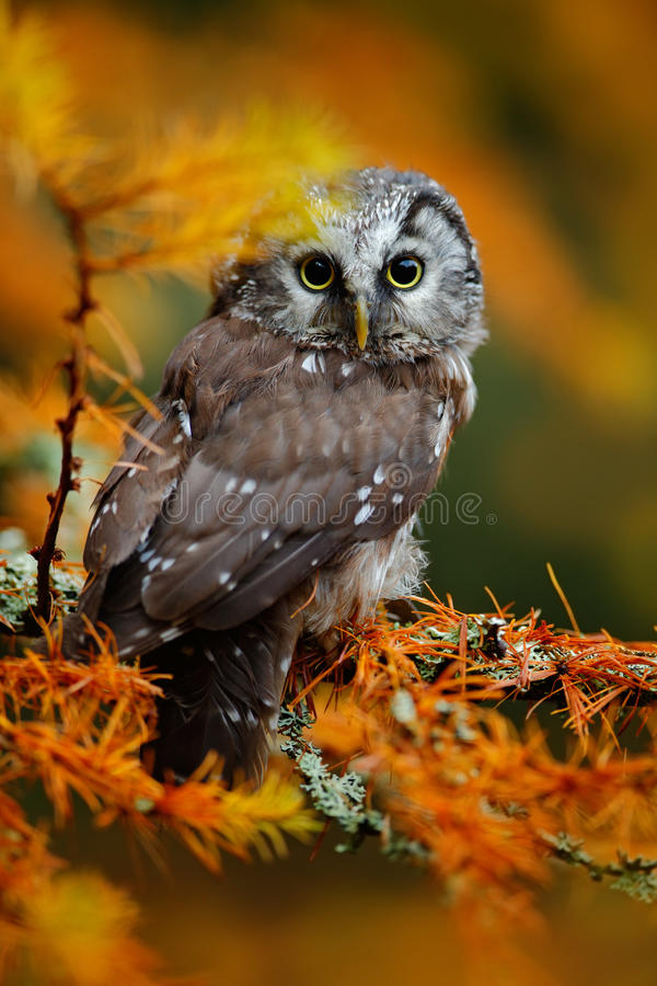 Boreal owl in the orange larch autumn forest in central Europe stock images
