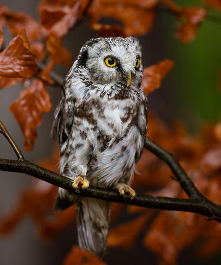 Boreal owl in the orange larch autumn tree stock image