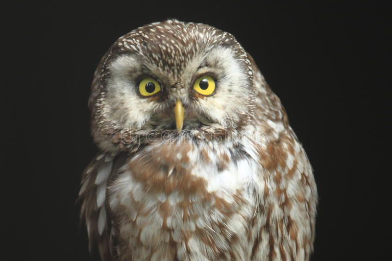 Boreal owl royalty free stock image