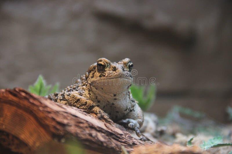 Boreal toad bufo boreas boreas stock photo image of boreal download boreal toad bufo boreas boreas stock photo image of boreal amphibian 112925282 sciox Image collections