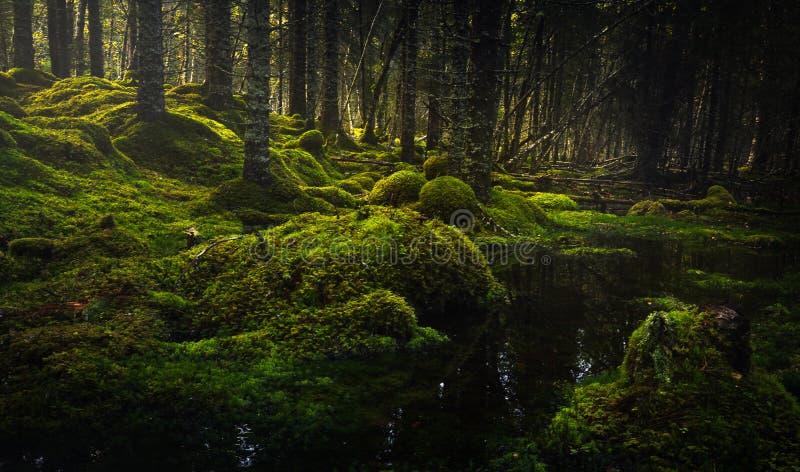 Borealna lasowa podłoga Mechata ziemia i światło ciepły, jesienny, Norwescy lasy obrazy royalty free