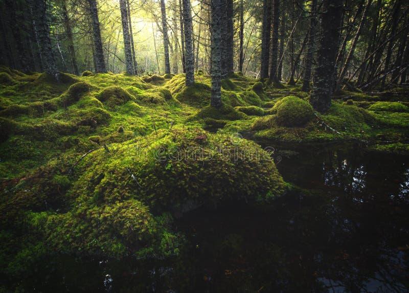 Borealna lasowa podłoga Mechata ziemia i światło ciepły, jesienny, Norwescy lasy zdjęcie stock