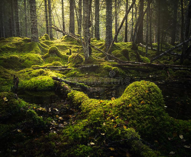 Borealna lasowa podłoga Mechata ziemia i światło ciepły, jesienny, Norwescy lasy fotografia royalty free