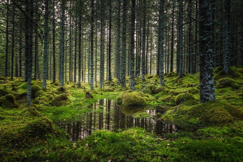 Borealna lasowa podłoga Mechata ziemia i światło ciepły, jesienny, Norwescy lasy obraz royalty free