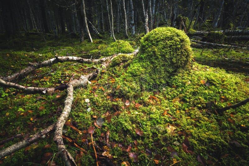Borealna lasowa podłoga Mechata ziemia i światło ciepły, jesienny, Norwescy lasy obraz stock