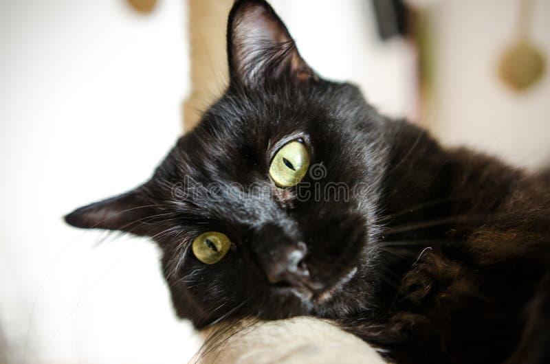 Bored black cat royalty free stock photo