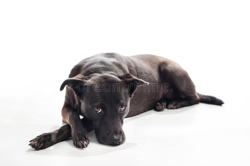Bored, Black, Mixed-Breed Dog. A back lit portrait of a black, mixed-breed, female dog lying down with a bored look on her face. Isolated on a white seamless royalty free stock images