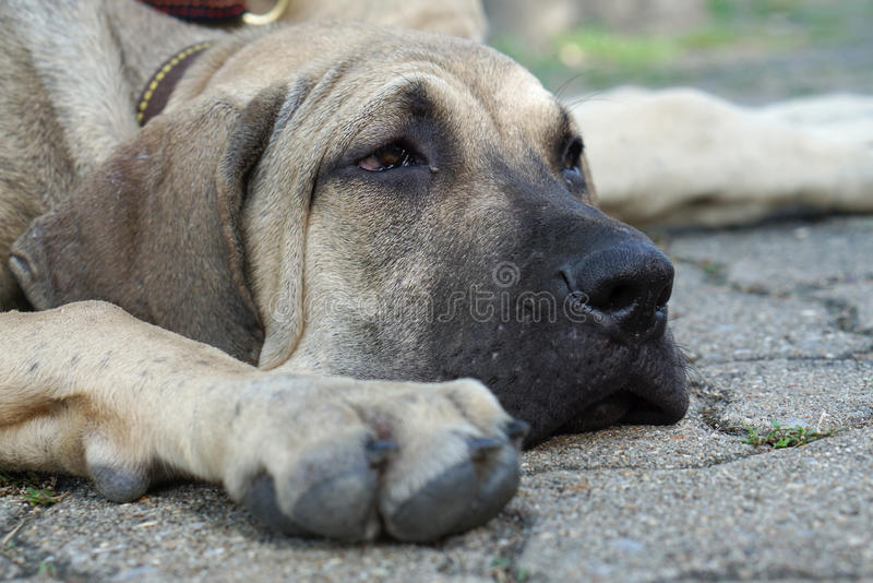 Bored face of Fila Brasileiro puppy on the ground. Closed up of Bored face of Fila Brasileiro puppy on the ground royalty free stock photography
